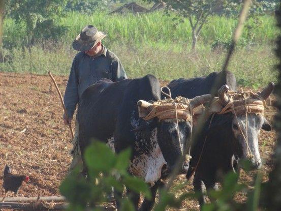 Les habitants ont gardé un savoir faire ancestral en ce qui concerne la production de tabac à Viinales. Cette vallée est inscrite à l'Unesco photo blog voyage tour du monde https://yoytourdumonde.fr