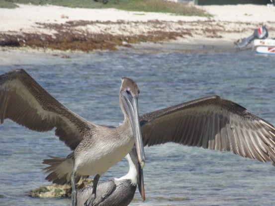 Pelicans akumal plage mexique blog photo voyage tour du monde https://yoytourdumonde.fr