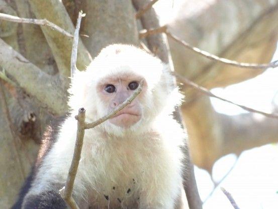 Il y a de nombreux singes du coté de l'Ile d'Ometepe photo blog voyage tour du monde travel https://yoytourdumonde.fr