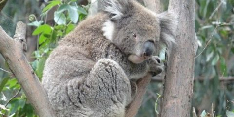 koala-australie-melbourne-great-ocean-road-travel-voyage-visa-working-holiday