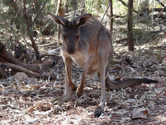kangourou-flinders-travel-voyage