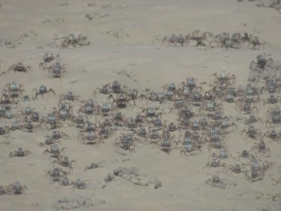 Australie- Whitsunday: Apres la raie les crabes bleus.