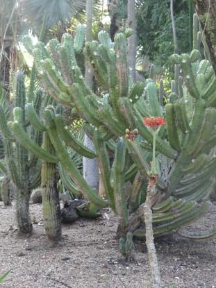 Australie- Rockampton: Jardin Botanique, photo pour mon frere qui aime les cactus!