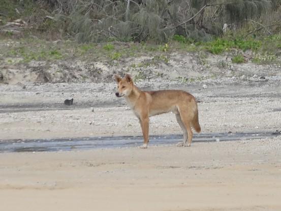 Australie- Frazer Island: C'est peut etre la que je me suis rendu compte que mon guide etait un vrai con! Non mais il y a un dingo, tous le monde dans la voiture lui demande de s'arreter. Be il s'est arrete que 5 secondes. Fallait pas se tromper en prenant la photo. J'etais en rage!