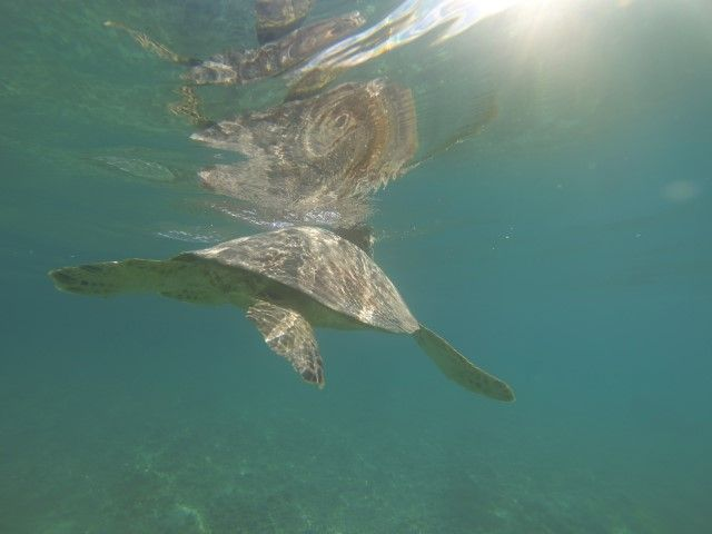 Ile de Lifou: Nage avec une tortue