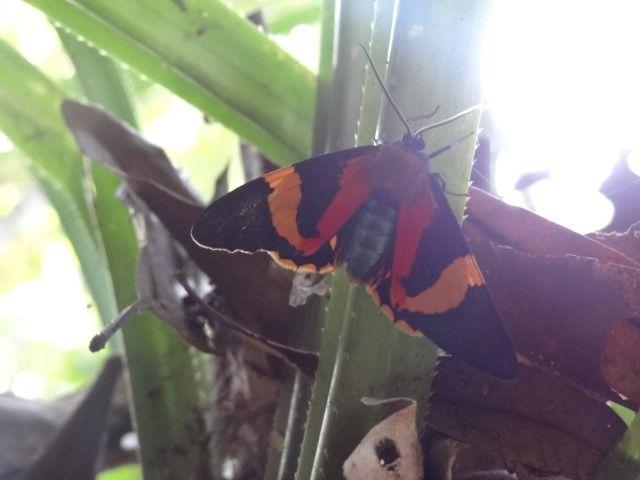 Australie- Queensland: Cap Tribulation: Un autre egalement bien present dans les forets.