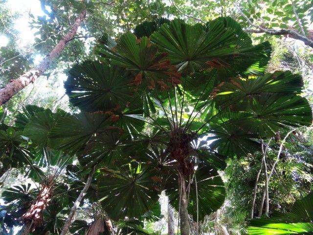Australie- Queensland: Cap Tribulation: Toujours des dizaines et des dizaines de sortes de fougéres!