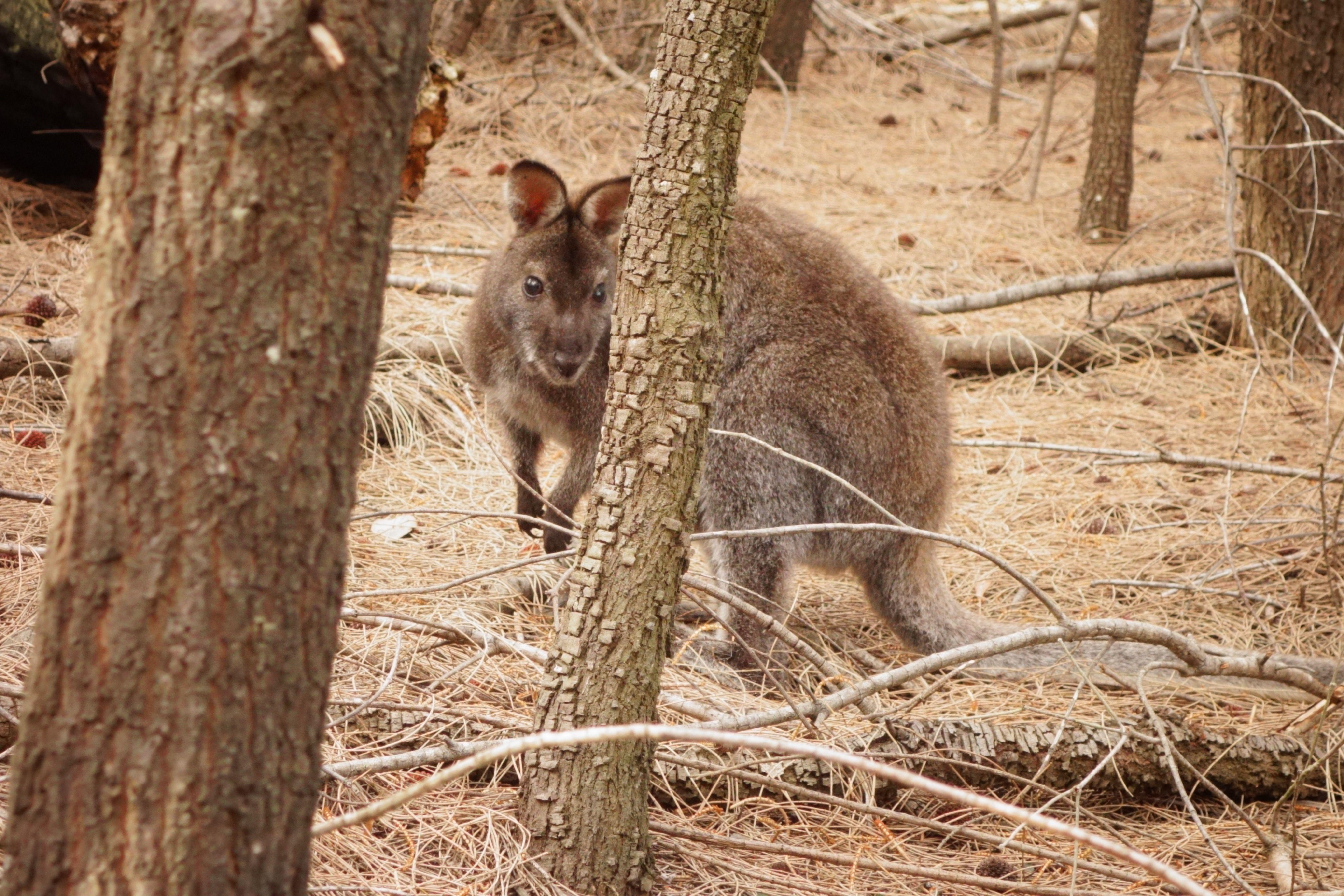 Australie-Tasmanie: Chui la....