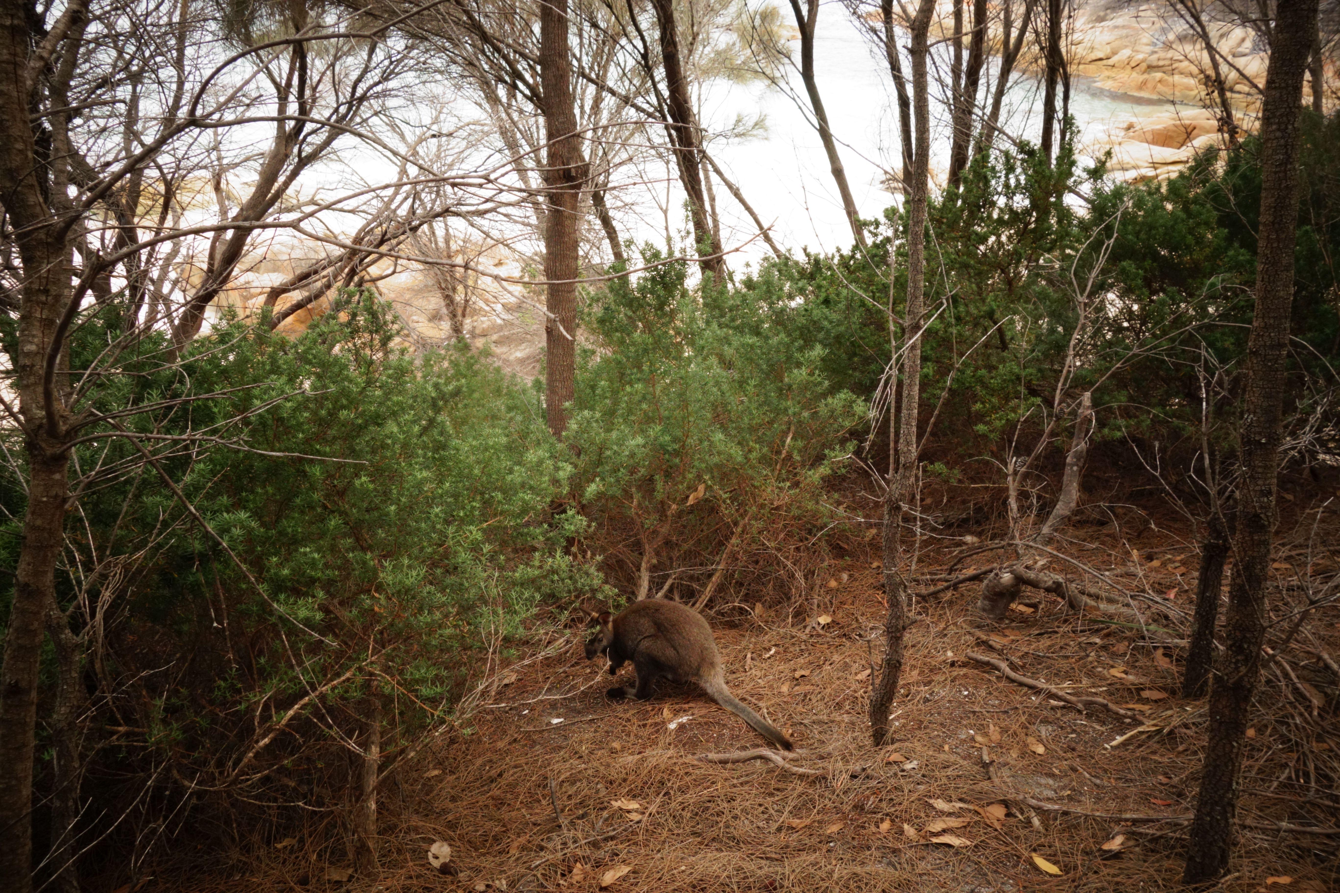 Australie-Tasmanie: Ahhh la grande deception. Je devais depuis deux ans de prendre l'Océan et sur la plage un kangourou. Cela aurait été la photo du siècle. Helas il n'as manque que quelques metres. Le kangourou et en arrière plan la mer.