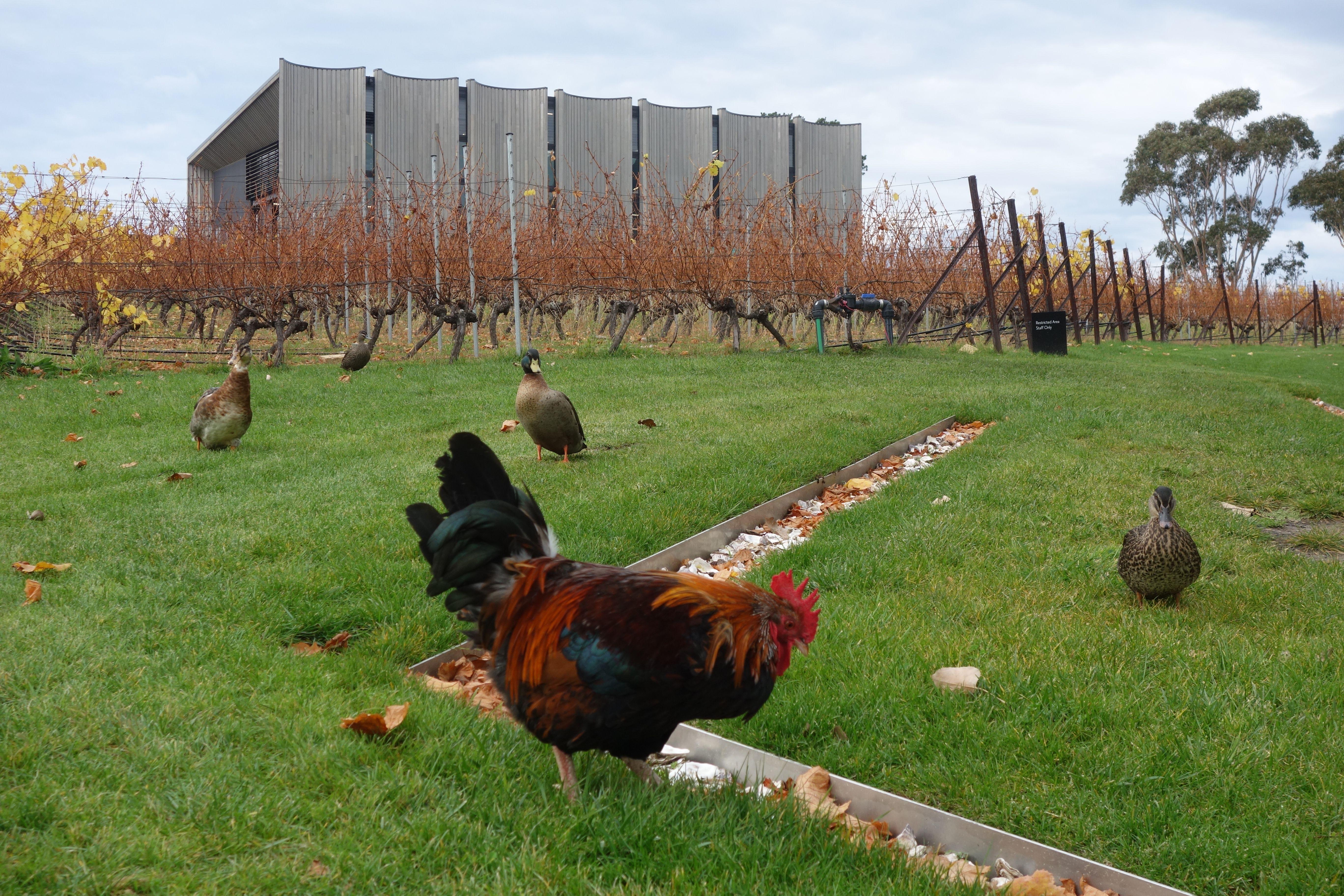 Australie- Tasmanie: Hallucinant, le musée se trouve en plein milieu de la nature avec des vignes mais aussi des poules.