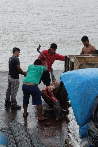 Voyage au Perou- Le bateau de la mort: C'est quoi ce delire! G crois qu'une vache nous a quitté! 60 poulets et une vache... Ambiance sur le bateau!