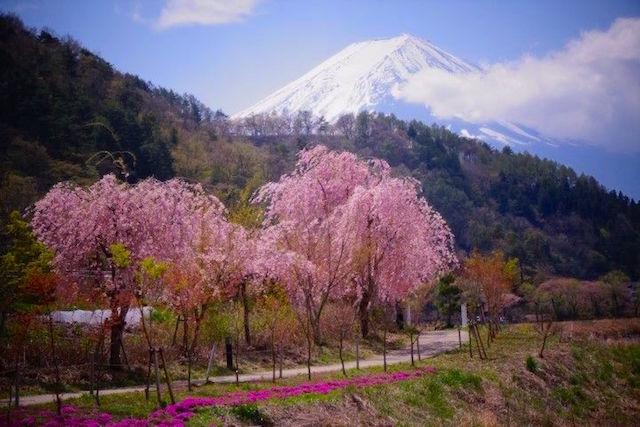 Cerisiers en fleurs et vue sur le Mont Fuji photo article tour du monde http://yoytourdumonde.fr