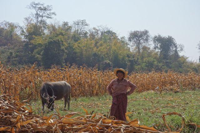Dans l'Etat Shan vous pouvez voir de nombreux buffle ici nous avons une locale avec un buffle dans les champs en birmanie photo blog voyage tour du monde http://yoytourdumonde.fr