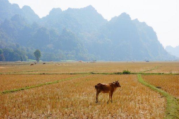 au Myanmar et birmanie il y a beaucoup de riziere mais aussi du ble photo blog voyage tour du monde https://yoytourdumonde.fr