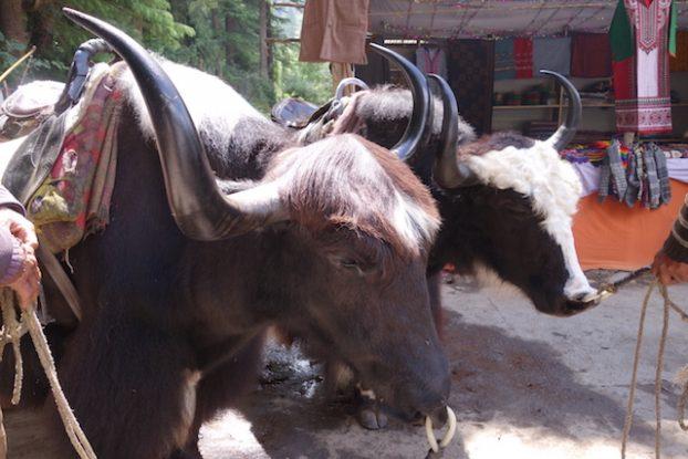manali yak photo blog tour du monde https://yoytourdumonde.fr