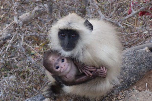 Une maman singe avec son bébe du cote du temple Savitri à Pushkar dans le nord de l'Inde. Photo blog voyage tour du monde htt://yoytourdumonde.fr