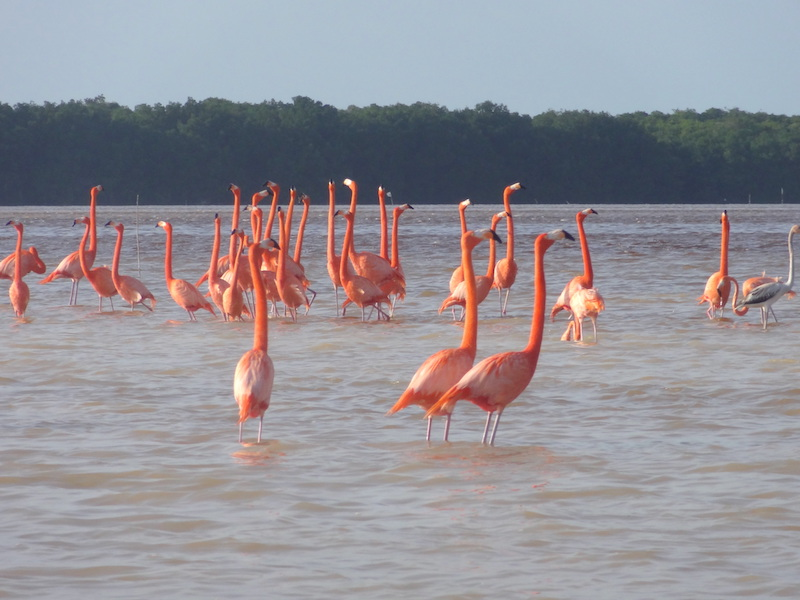 Flamants roses à Celestun au Mexique photo blog voyage tour du monde travel https://yoytourdumonde.fr