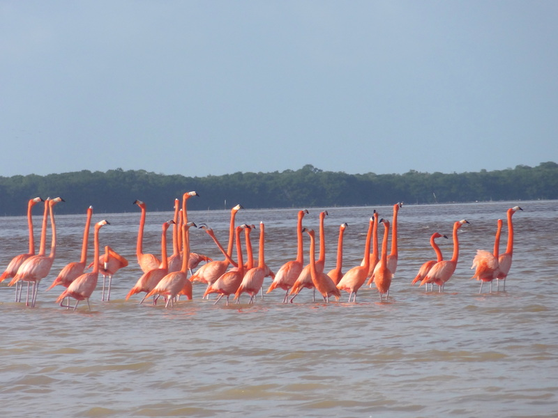 Magnifique flamants rose à Celestun au Mexique photo blog voyage tour du monde travel https://yoytourdumonde.fr