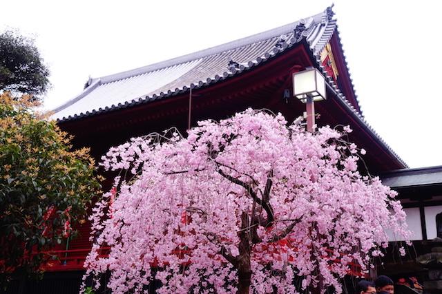 Entre magnifique temple et cérisiers en fleurs du coté du Ueno Park photo blog voyage tour du monde https://yoytourdumonde.fr