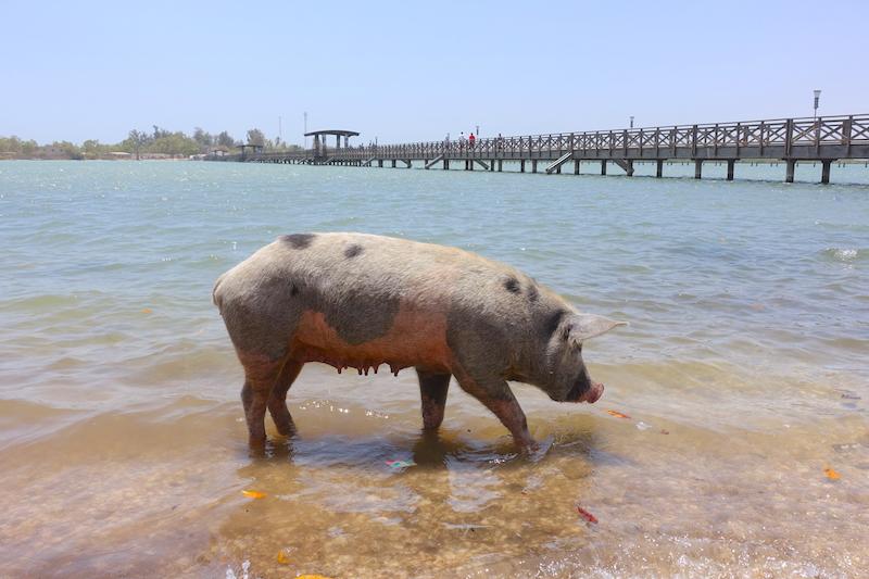Il y a de très nombreux cochons qui se baignent dans la mer sur l'ile de Fadiouth ou ile aux coquillages photo blog voyage tour du monde https://yoytourdumonde.fr