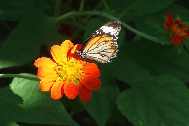 Les enfants vont être content car vous pouvez découvrir de nombreux papillons sur Kep. http://yoytourdumonde.fr