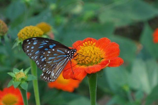 Decouverte de splendides papillons à Kep
