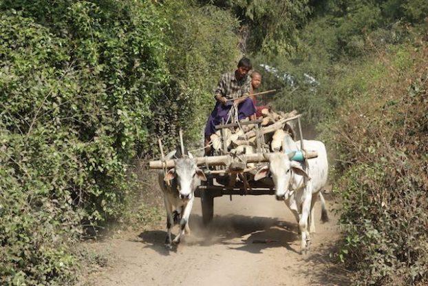 campagne de monywa boeuf travail photo blog tour du monde myanmar htto://yoytourdumonde.fr