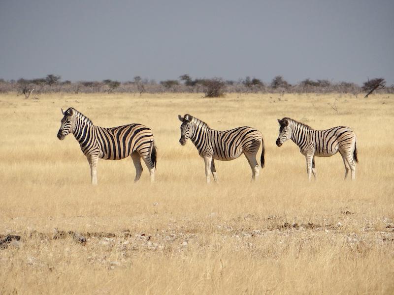 Parc National d'Etosha avec la présence de nombreux zebres photo blog voyage tour du monde travel https://yoytourdumonde.fr