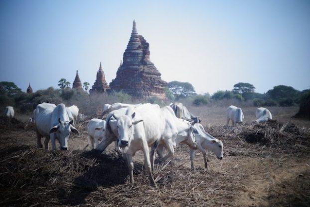 Entre animaux, temple, stupa et pagode les touristes sont completement libre sur le site de Bagan un plaisir pour les yeux et pour l'esprit photo voyage tour du monde https://yoytourdumonde.fr