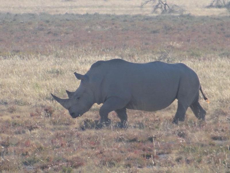 Rhinocéros à Etosha en Namibie photo blog voyage tour du monde travel Afrique https://yoytourdumonde.fr