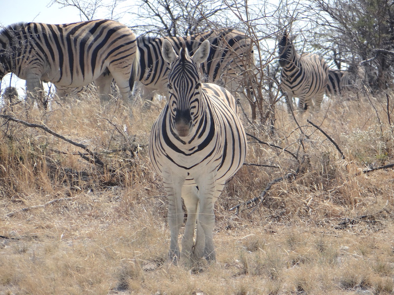 Zebre à Etosha en Namibie photo blog voyage tour du monde travel Afrique https://yoytourdumonde.fr