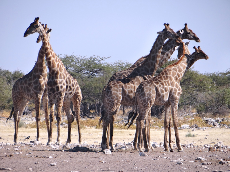 Troupeau de girafes à Etosha en Namibie photo blog voyage tour du monde travel Afrique https://yoytourdumonde.fr