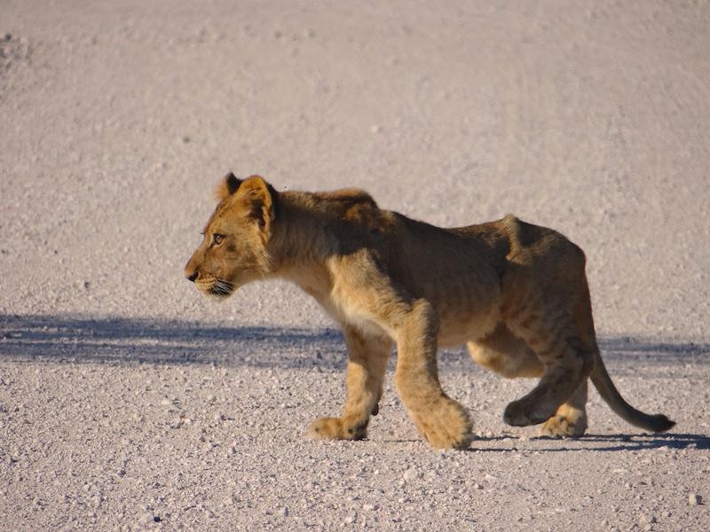 Présence de lion à Etosha en Namibie photo blog voyage tour du monde travel https://yoytourdumonde.fr