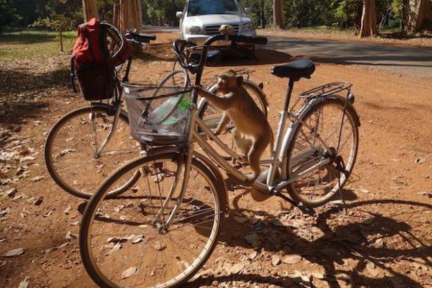 Attention des singes du coté des temples d'Angkor vous volent votre nourriture.