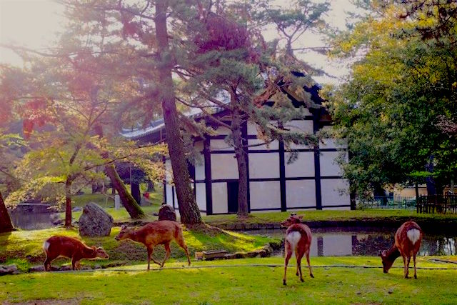 A Nara au Japon vous allez rencontré des milliers de cerf et de daims dans la ville. Photo blog voyage tour du monde http://yoytourdumonde.fr