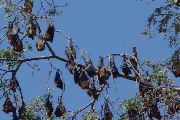 Tout les jours à 17h30 des chauves souris pres de Battambang quittent leurs grottes par millions pour aller manger photo blog https://yoytourdumonde.fr