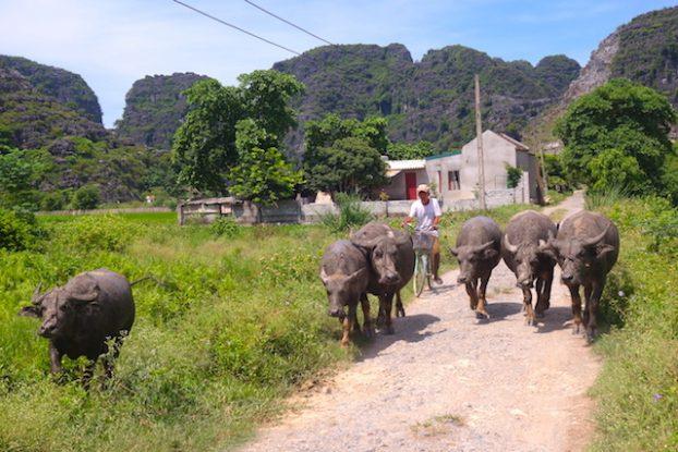 rizières et serpents baie d'halong terrestre photo blog voyage tour du monde buffle http://yoytourdumonde.Fr