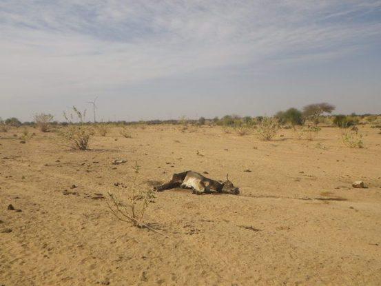 Des carcasses de vaches sont assez presentes dans le desert de thar photo voyage tour du monde https://yoytourdumonde.fr