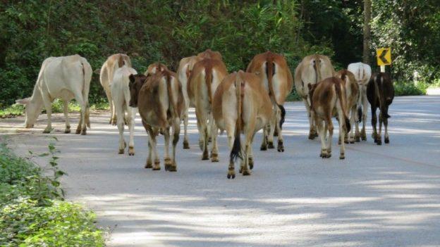 voyage-travel-thailande-vache