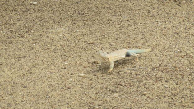 lezard dans le desert de thar dans le rajasthan en inde photo voyage tour du monde https://yoytourdumonde.fr