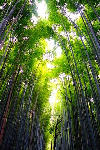 La forêt de bambou de Kyoto se trouve non loin du centre de Kyoto mais il faut prendre le bus pour y aller photo blog voyage tour du monde http://yoytourdumonde.fr