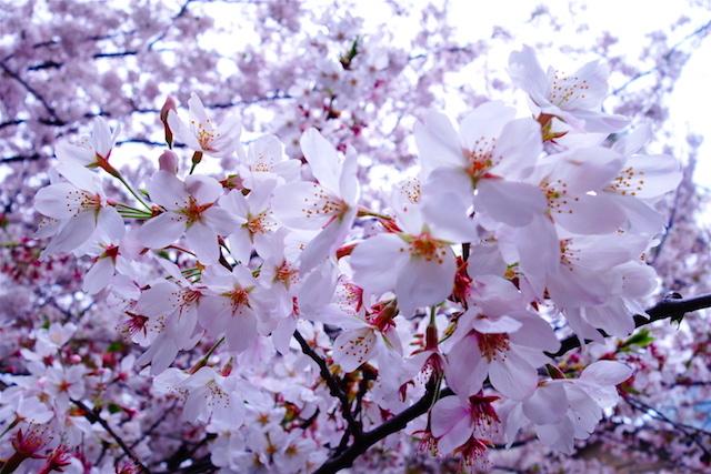 Les cerisiers en fleurs en mars et avril sont une occasion unique de visiter le Japon. Photo blog voyage tour du monde https://yoytourdumonde.fr