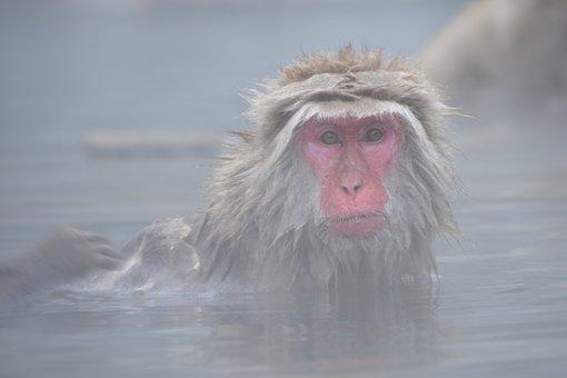 Les singes du Parc Jigokudani qui se baignent dans des eaux chaudes naturelles. Photo blog voyage tour du monde https://yoytourdumonde.fr